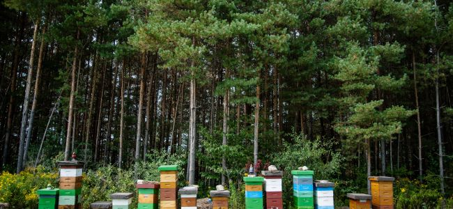 A row of beehives against a wooded backdrop