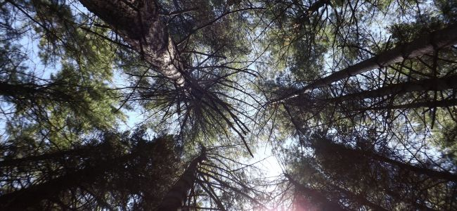 white pine trees looking up from the ground